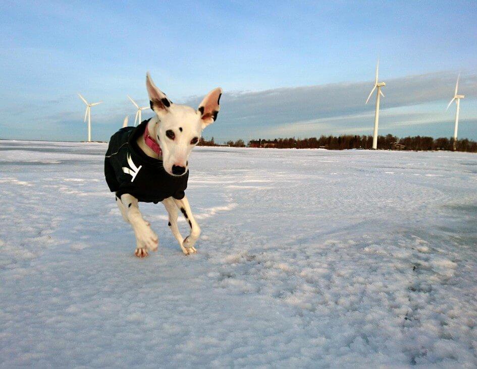 Valkoinen koira, jolla on mustia täpliä juoksee tuulivoima puistossa talvella